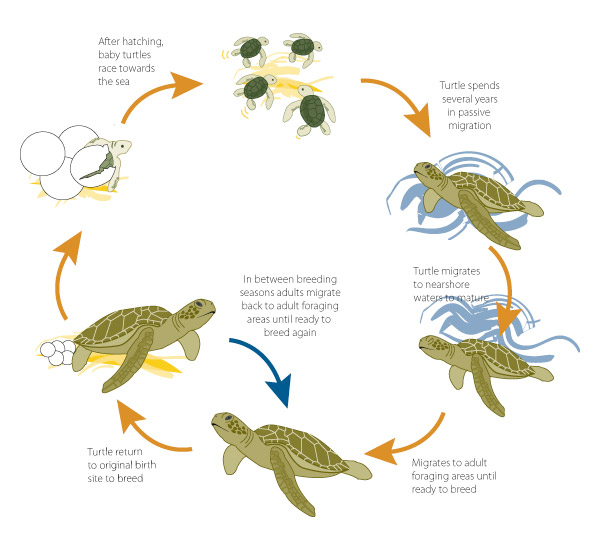 Image result for life cycle of a turtle