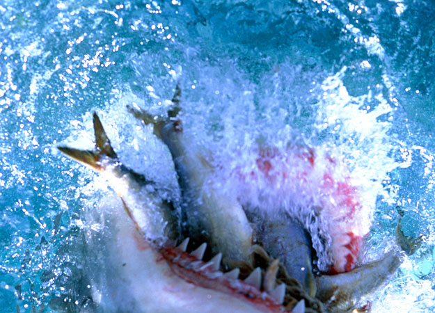 Pics For > Great White Shark Eating Images